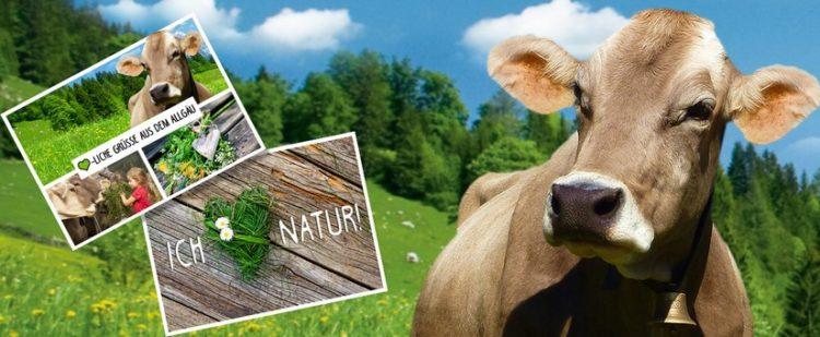 Kuh und Postkarte mit Kuh-Motiv